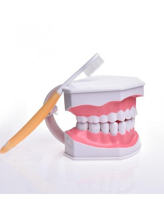 Model dentar scara 2:1