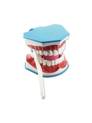 Model dentar educativ cu periuta